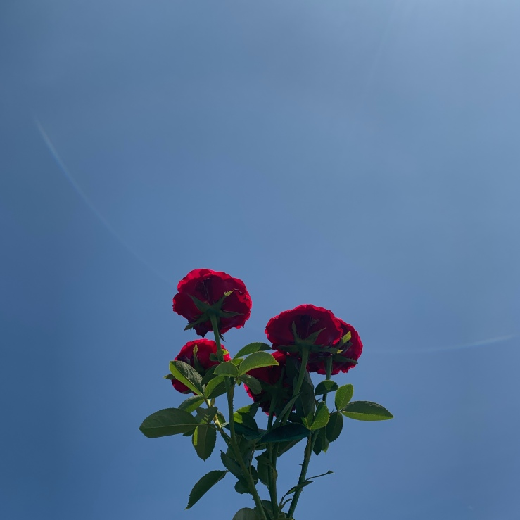 underbelly of the rose